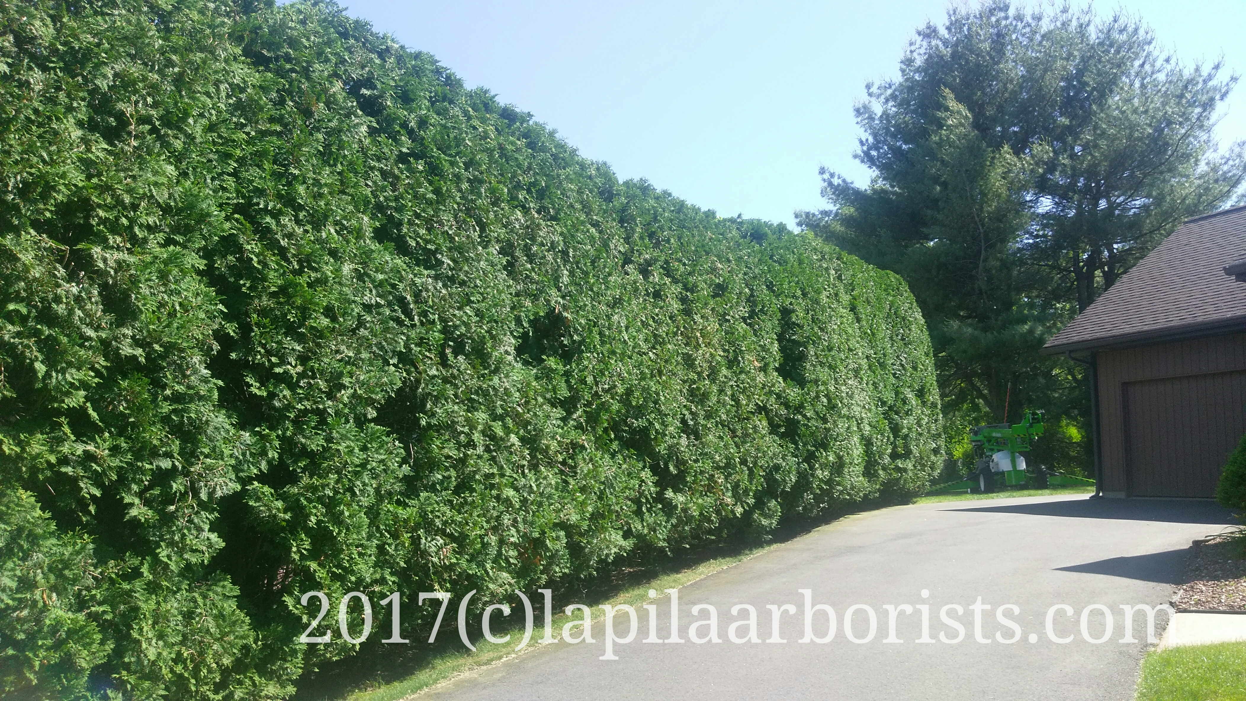 Pruning An Arborvitae Hedge To Awesomeness