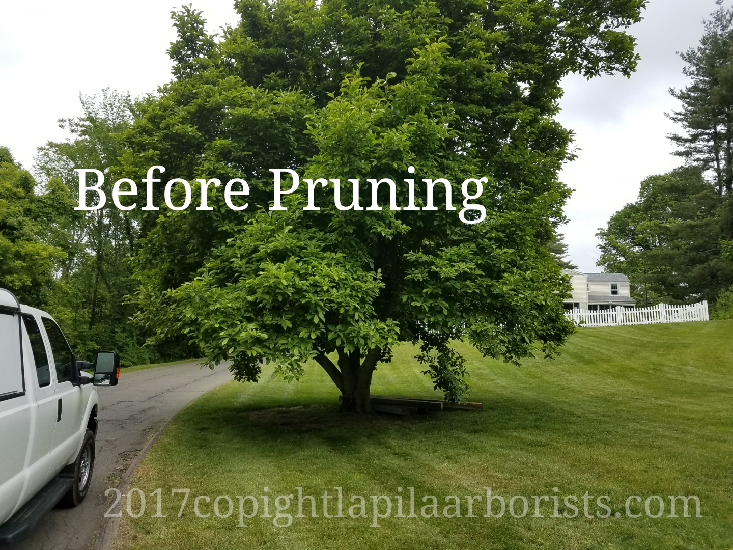 A Magnolia Tree We Pruned Before And After
